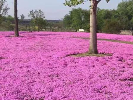 山东丛生福禄考培育-四季花卉苗木价格实惠的芝樱供应