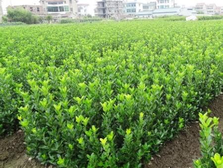 甘肃观赏草种植-供应山东优惠的绿化苗木