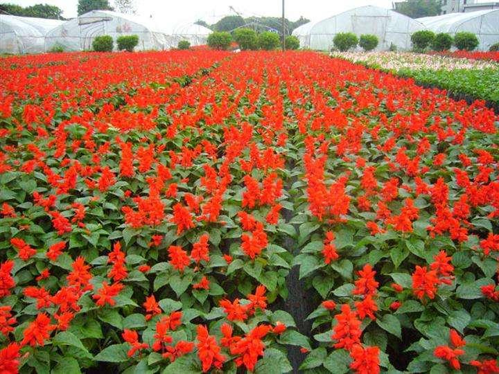 一串红培育基地-来昭鑫花卉苗木,买超值的一串红