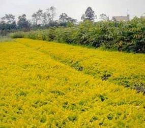 【买买买】金叶过路黄种植,金叶过路黄报价,金叶过路黄价格