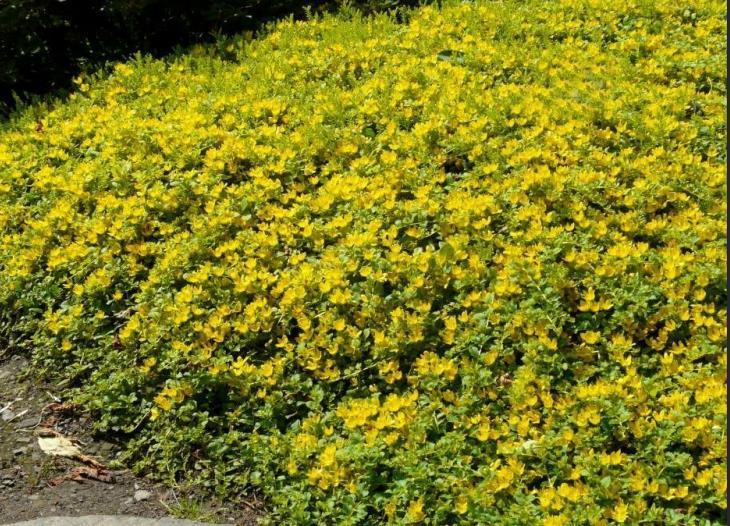 山东金叶过路黄-潍坊价格实惠的金叶过路黄哪里有供应