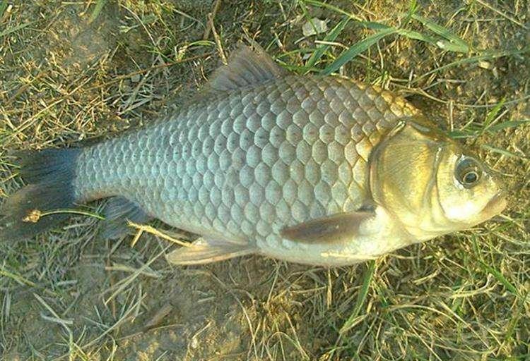 生態養殖魚類出售_吉安鯽魚批發供應