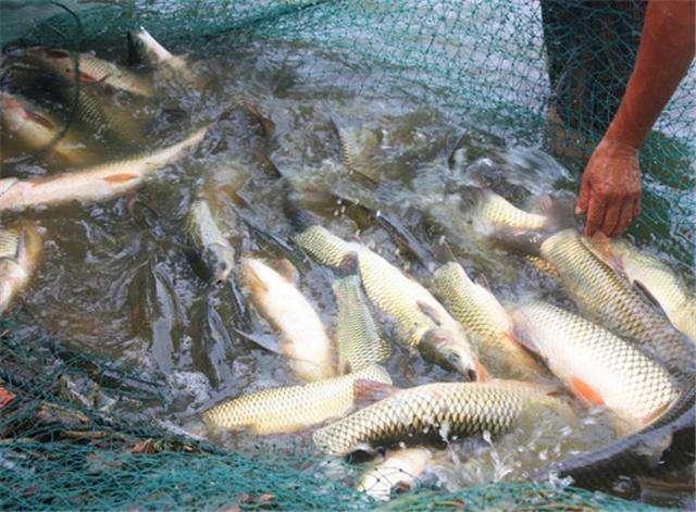 廣東特色生態養殖魚類-供應吉安優惠的鯽魚
