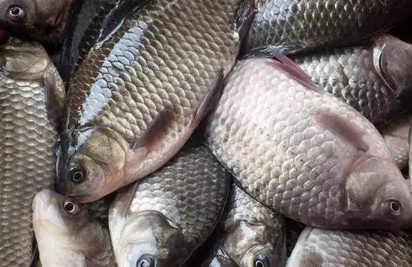 山東好吃的生態養殖魚類|物超所值的鯽魚推薦