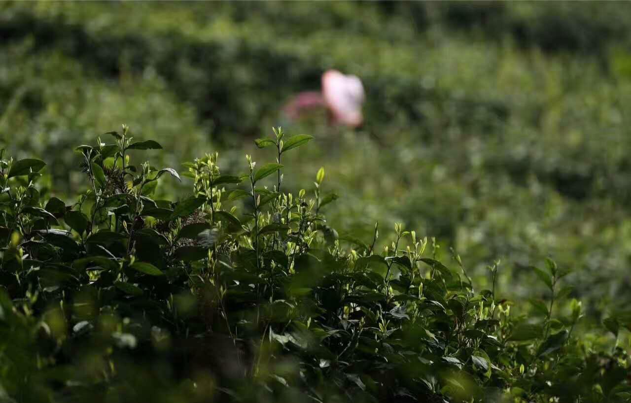 峨眉山有机茶