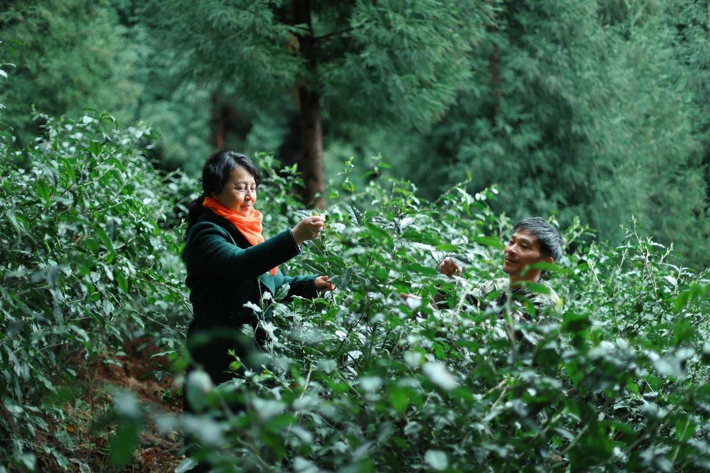 四川批发峨眉山有机茶-成都高品质峨眉山遇仙茶批售