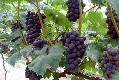 天然葡萄怎么样|盘锦优惠的北镇葡萄树供应