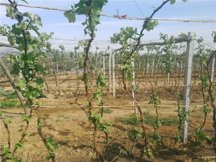 专业的北镇葡萄树批发商,当属盘锦爱心葡萄树|北镇葡萄树认养