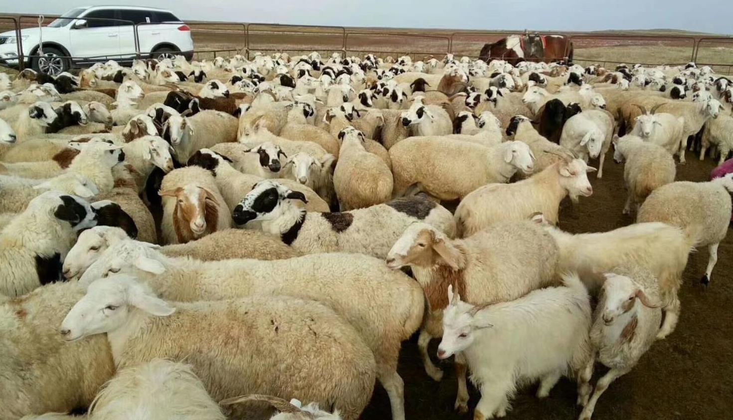 呼伦贝尔牛羊肉-白条羊-羊个子-海拉尔分割羊!内蒙古伍宝牧业
