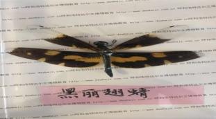 呼和浩特昆虫标本机构_长期供应昆虫标本品质可靠