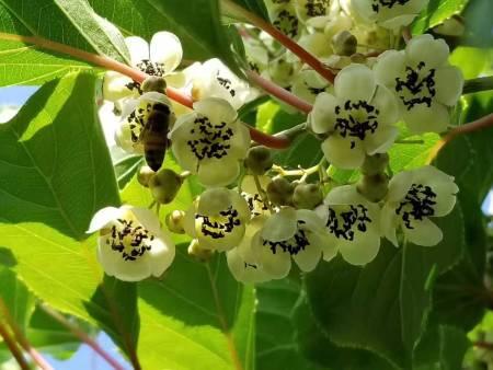 龙成2号软枣猕猴桃种植基地-供应品种好的红色软枣猕猴桃苗
