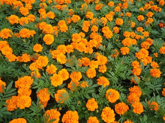 江苏孔雀草|供应山东质量好的孔雀草