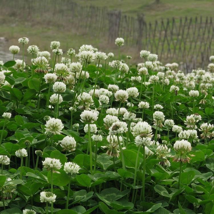 白三叶种植基地|优良的白三叶推荐