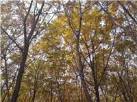 金叶无刺皂荚价格?加拿大糖槭 北美糖槭-鸿泽