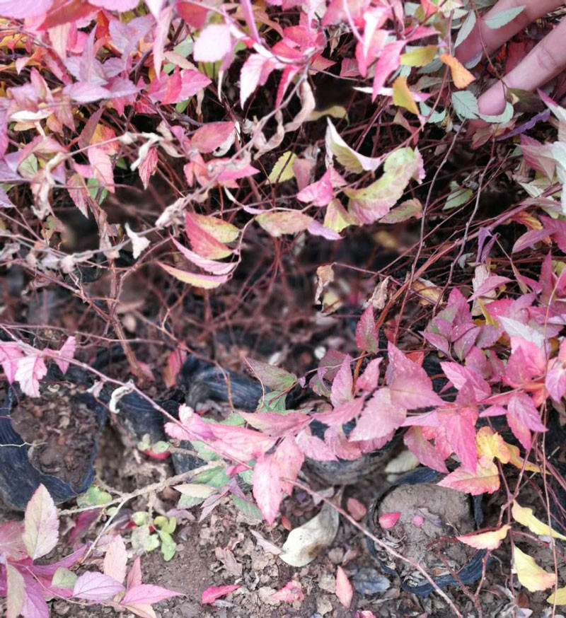 江苏绣线菊-想买合格的绣线菊-就到广瑞花卉苗木