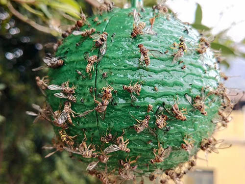 西安粘蠅板_銷量很好的誘蠅球供應