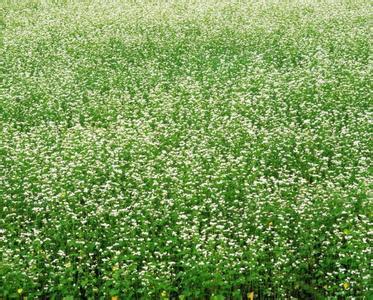 湖南满天星批发-口碑好的满天星就在百草园花卉苗木专业合作社