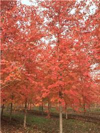 美国红枫批发\、美国红枫供应\、美国红枫种植\、美国红枫基地