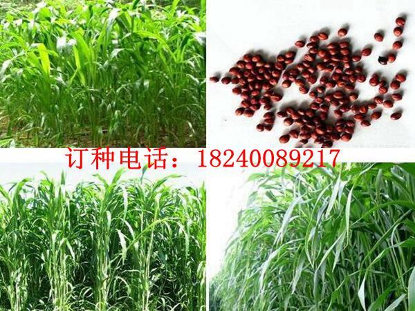 一亩地需要种植多少高丹草种子