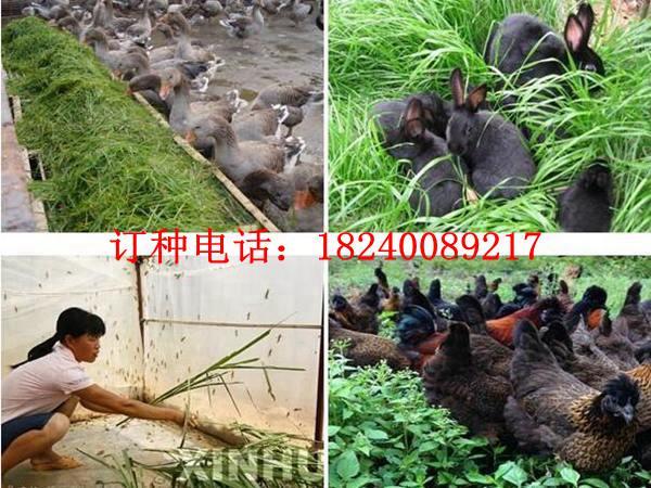 海南省種什么草養羊好-適合海南種植的牧草有哪些