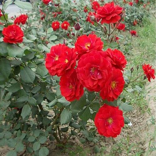 陕西红帽月季-哪里能买到优良的红帽月季