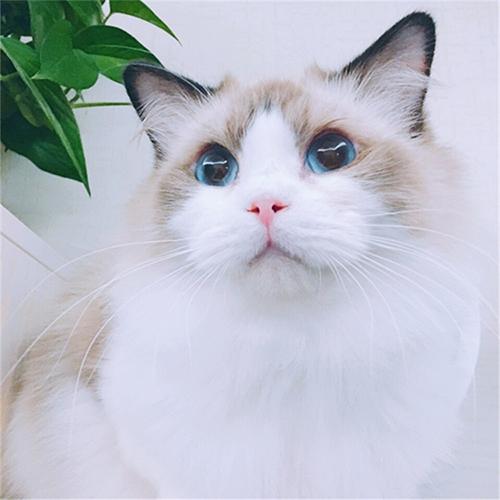 受欢迎的布偶猫-资深的布偶猫-别错过上海乂彦宠物用品