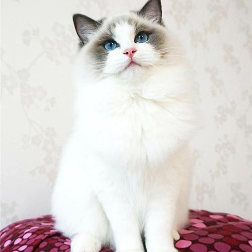專業的布偶貓-上海乂彥寵物用品提供可信賴的布偶貓