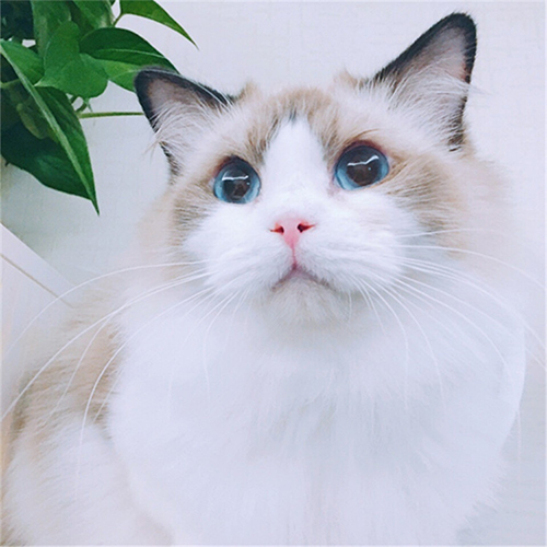 迅捷的布偶猫_上海乂彦宠物用品提供超值的布偶猫