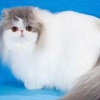 波斯猫品种-价格公道的波斯猫哪里有供应