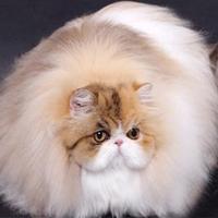 波斯猫多少钱|上海品种齐全的波斯猫推荐