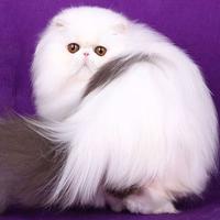 养猫技术|如何选购好的波斯猫