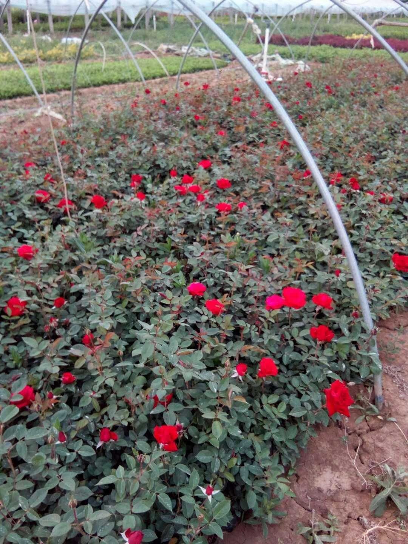 【【蔷薇月季基地】&【【大花月季价格】&【【山东红帽月季种】