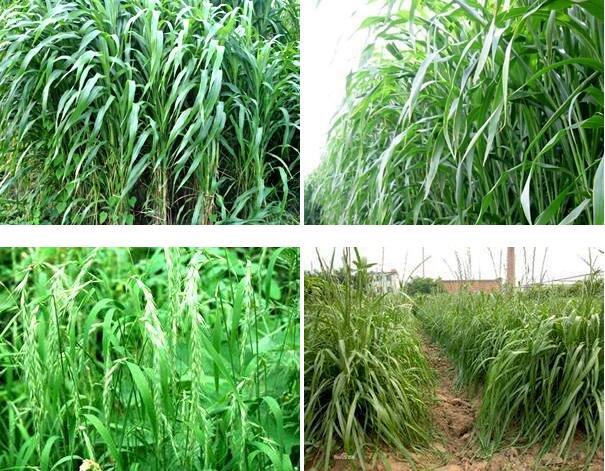 哪里有苏丹草-苏丹草种子多少钱一斤
