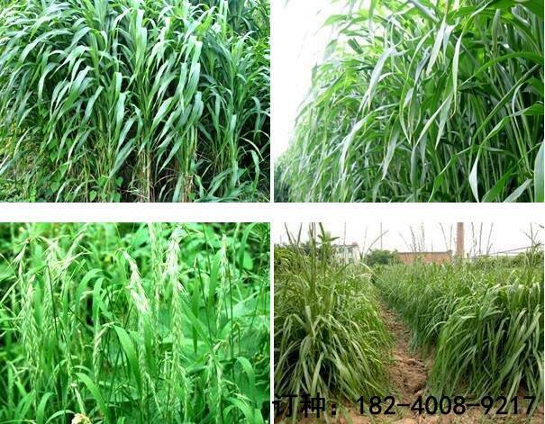 黑麥草種子在哪能買到-高質量的黑麥草種子山東裕華種業供應