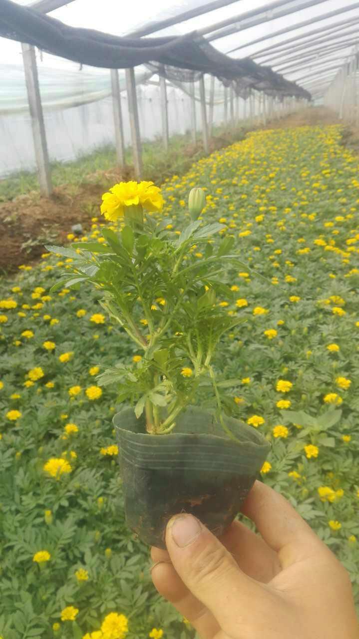 山东万寿菊-价位合理的万寿菊就在奥澜花卉苗木