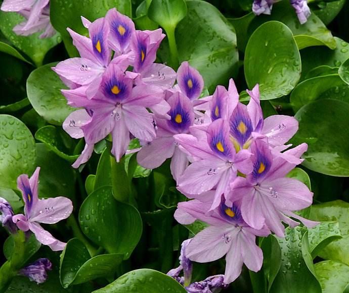 安阳水生植物-订购水生植物当选郑州花满溪园艺场