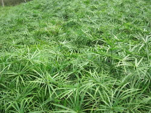 河南观赏荷花_价格优惠的水生植物郑州哪里有