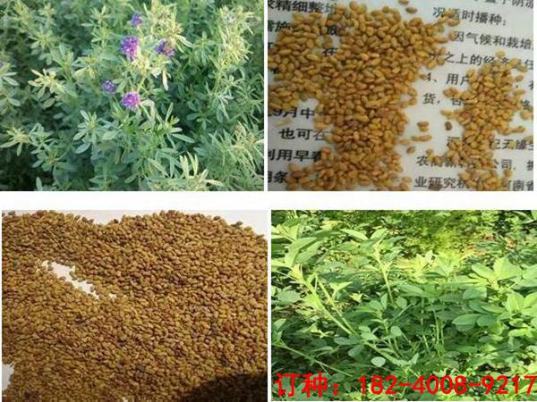 苜蓿草种子哪里有卖的-济宁紫花苜蓿批发