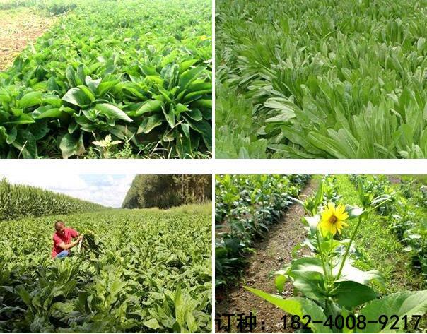 進口苜蓿草籽價格行情 山東裕華種業紫花苜蓿品質好