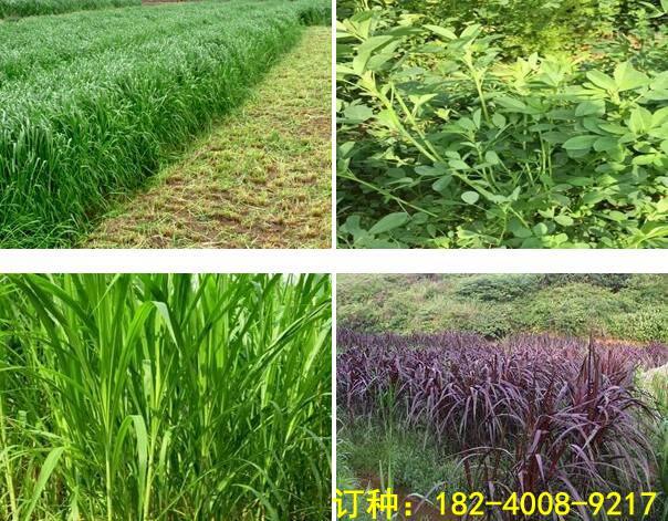 如何種植皇竹草產量高