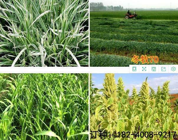 一亩地需要种植多少串叶松香草种子