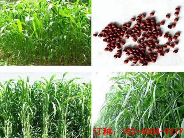 哪里有蘇丹草種子-購買蘇丹草優選山東裕華種業