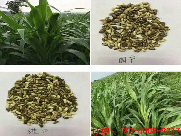 在哪里能買到墨西哥玉米草種子-山東裕華種業出售劃算的墨西哥玉米