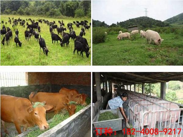 一畝地苜蓿草能養多少蝗蟲-山東品種好的畜牧草供應