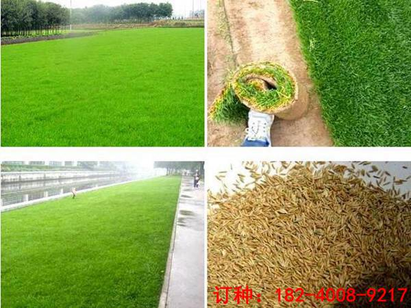 进口高羊茅种子多少钱一斤 买高羊茅种子选哪家好