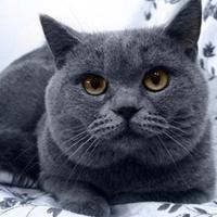 英国短毛猫英国短毛猫价格贵不贵-英国短毛猫推荐