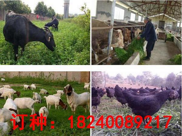 适合养驴的牧草种子多少钱一斤