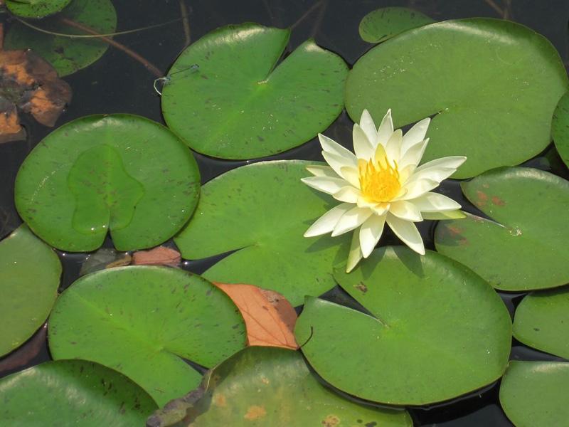 精巧的睡莲的种植方法-口碑好的睡莲哪里有供应