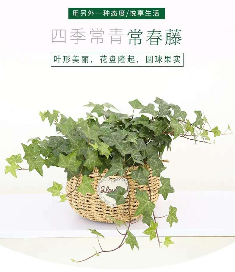 青島綠植廠家批發,綠植種類