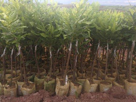 澳洲坚果苗,广西澳洲坚果苗供应商